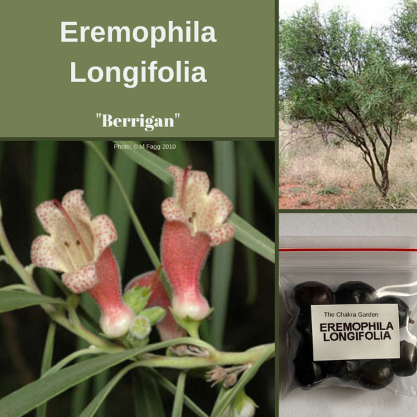 Eremophila Longifolia-'Berrigan'-OTHER-10 fruits (seeds).