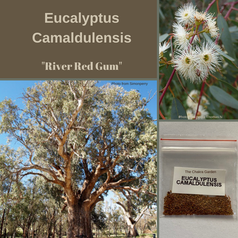 "Eucalyptus Camaldulensis ""River Red Gum"" -TREES-50 Seeds (and husk)"