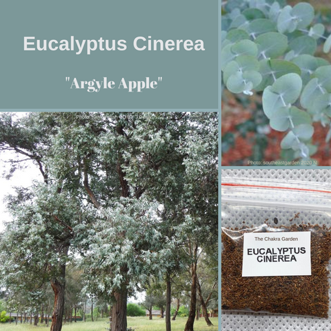 Eucalyptus Cinerea 'Argyle Apple' -TREE-Seeds-1gm