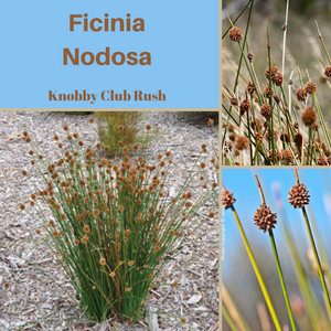 Ficinia Nodosa-''Knobby Club Rush'-Buy In Bulk-Seeds AND Husk