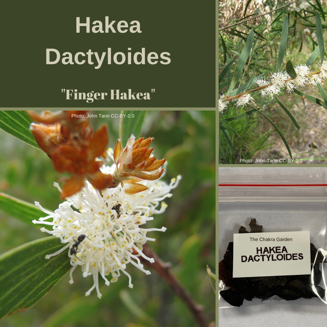 Hakea Dactyloides-'Finger Hakea'-OTHER-15 seeds