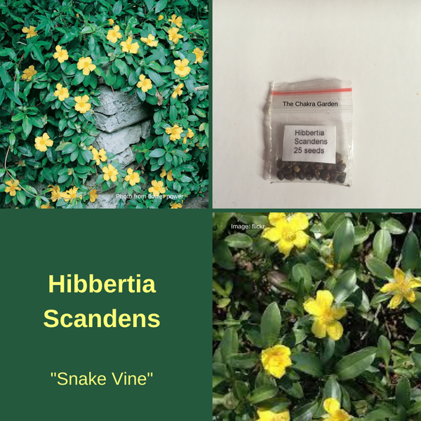 Hibbertia Scandens - 25 seeds