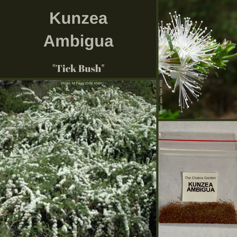 "Kunzea Ambigua-""Tick Bush""-BUSH TUCKA-BUY IN BULK-Seeds"