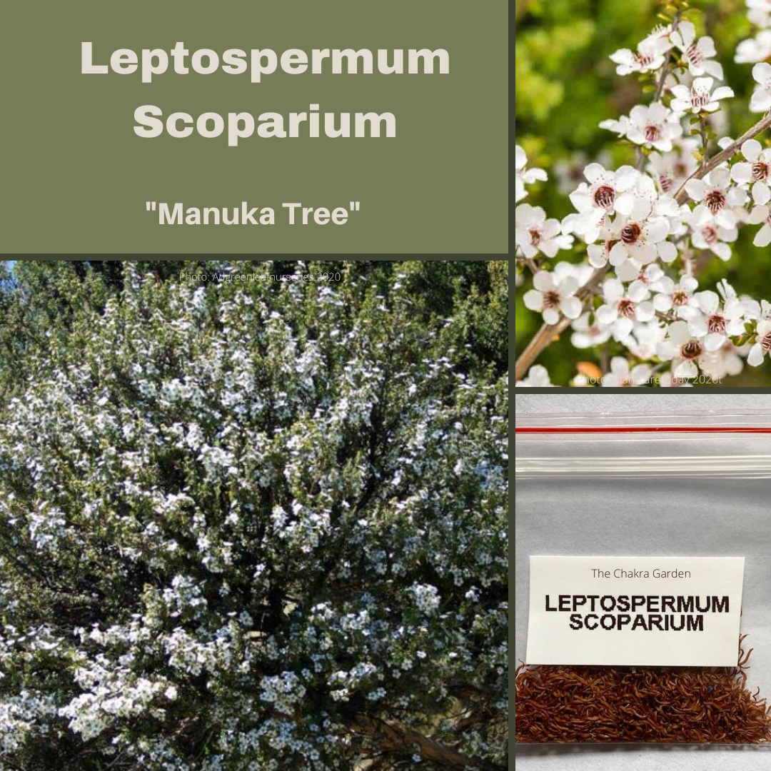 Leptospermum Scoparium 'Manuka Myrtle'-BUSH TUCKA-1000+ seeds