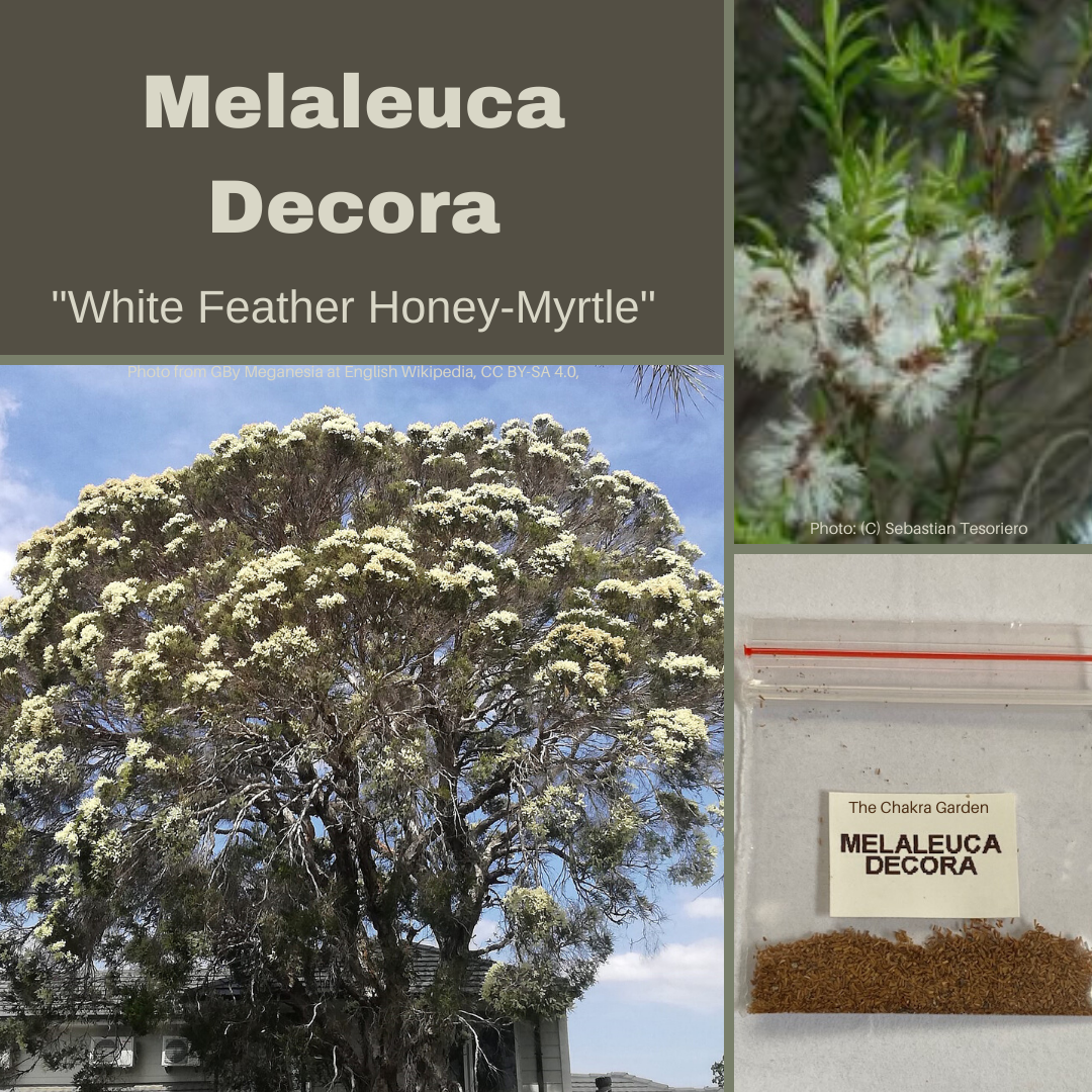 Melaleuca Decora-White Feather Honey Myrtle-BUSH TUCKA-500+ seeds