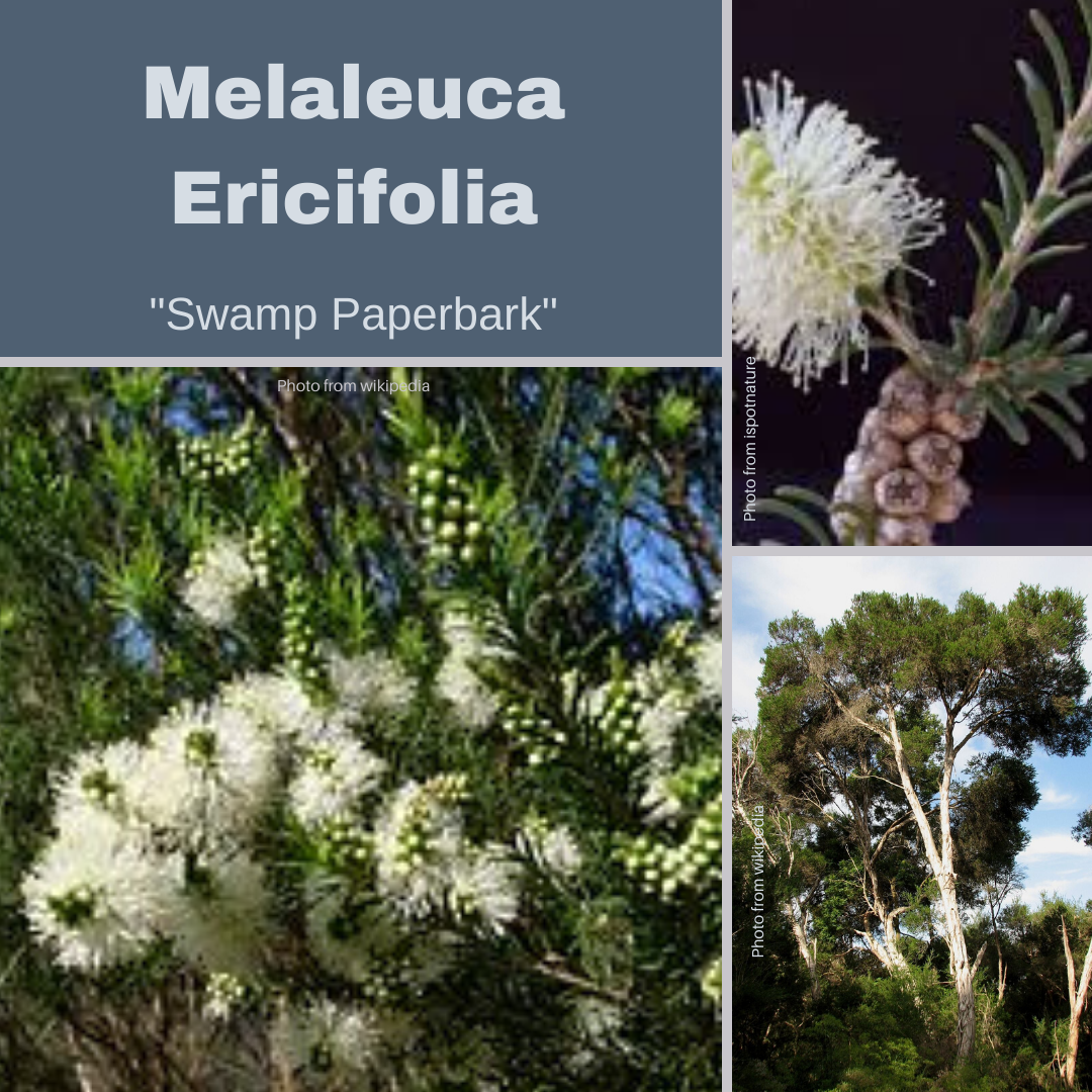Melaleuca Ericifolia-'Swamp Paperbark'-500+ seeds-Buy In Bulk