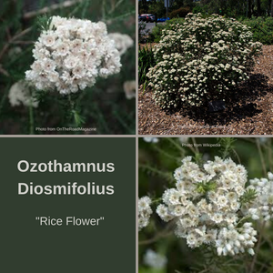 Ozothamnus Diosmifolius-'Rice Flower' 5 grams *FLORETS*-Buy In Bulk