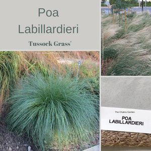 Poa Labillardieri-'Common Tussock Grass'-Ornamental Grass-200 Seeds