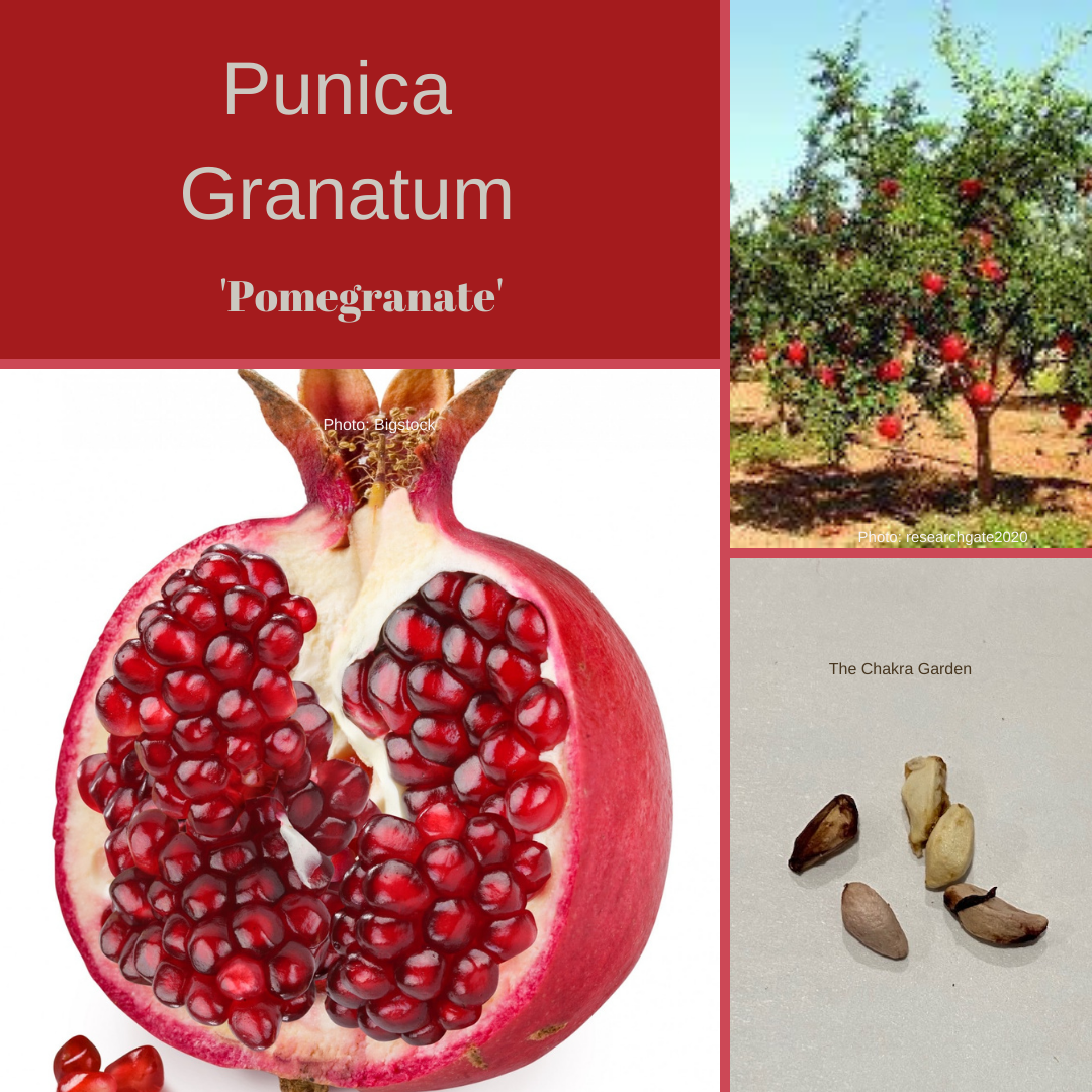 Punica Granatum 'Pomegranite' -EDIBLES-Base Chakra-5 seeds