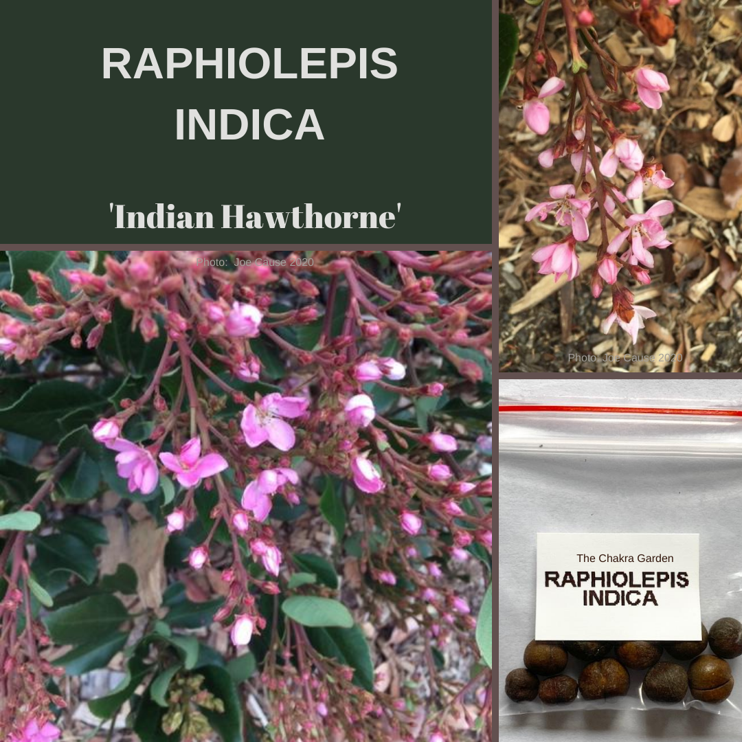 Raphiolepis Indica 'Indian Hawthorne'-HEDGE- 10 seeds
