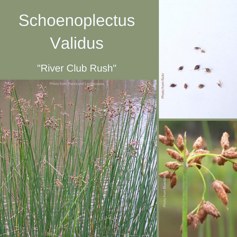 Schoenoplectus Validus-'River Club Rush'-25 Seeds with Florets-Buy In Bulk