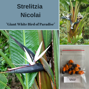 Strelitzia Nicolai 'Giant White Bird of Paradise'-Flowers-Buy In Bulk-seeds