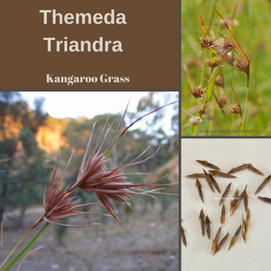 "Themeda Triandra ""Kangaroo Grass"" Seeds-EDIBLES-buy in BULK-pure seed"