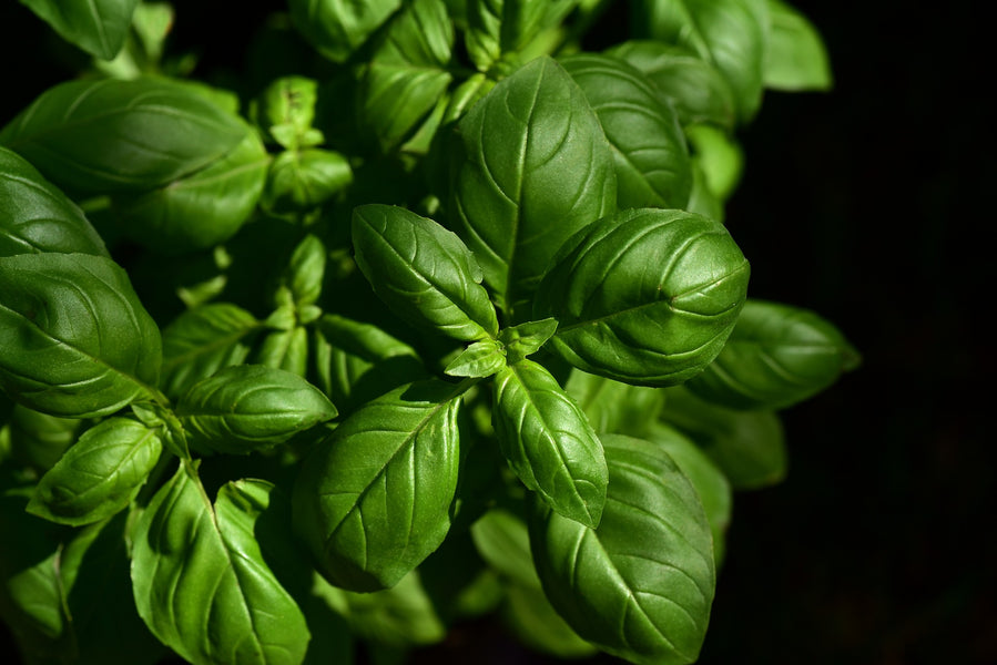 4 Remarkable Health Benefits of Basil Oil