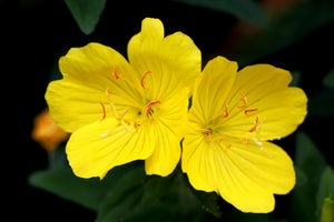 The 3 Best Reasons to Use Evening Primrose Oil