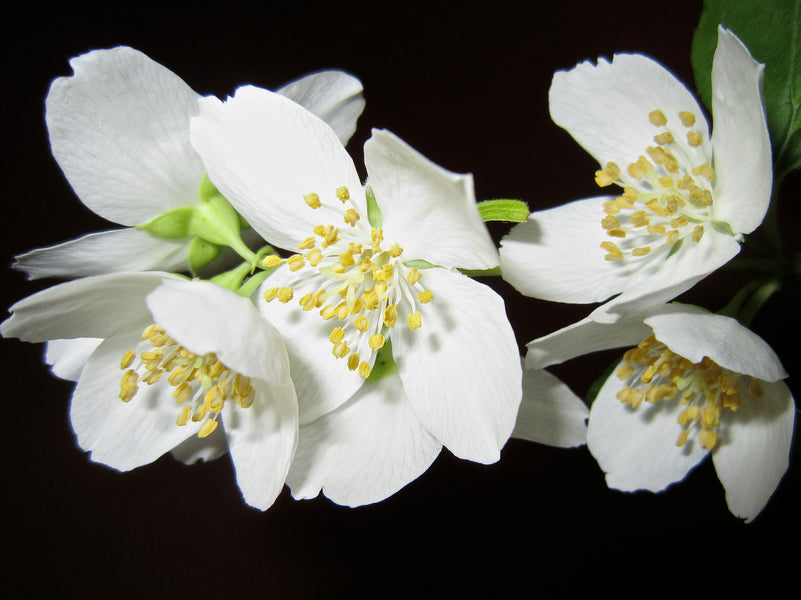 4 of the Most Outstanding Benefits of Jasmine Oil