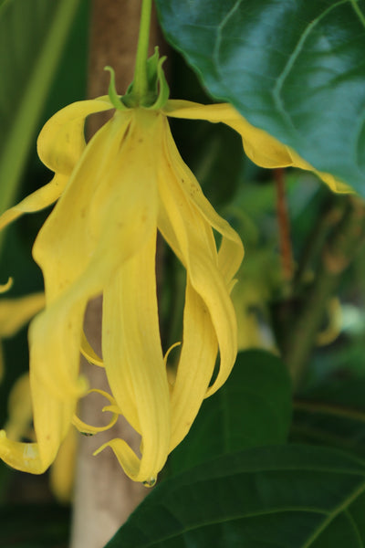Ylang Ylang and the Top 5 Reasons You Need to Add it into Your Life