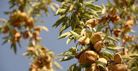 Almond - Alemande – Tree