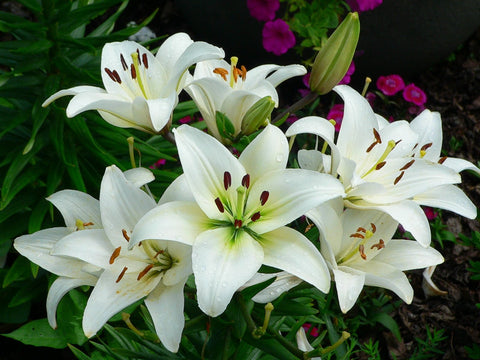 Lily essential oil