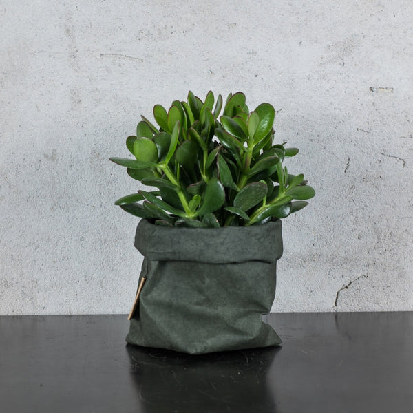 Green Tips Crassula