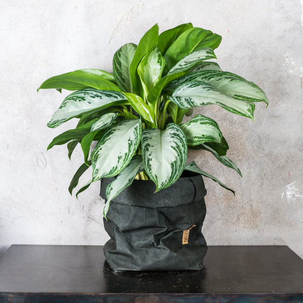 Green Tips Aglaonema