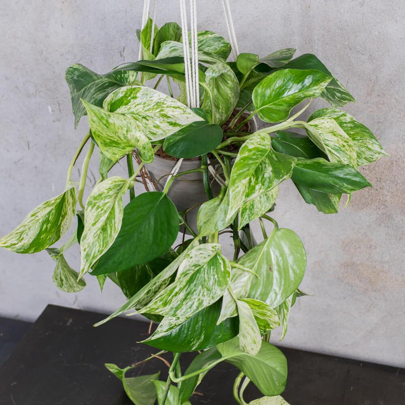 POTHOS MARBRÉ MEDIUM & POT