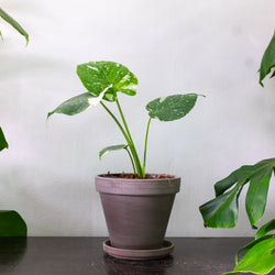 MONSTERA THAI CONSTELLATION SMALL & POT