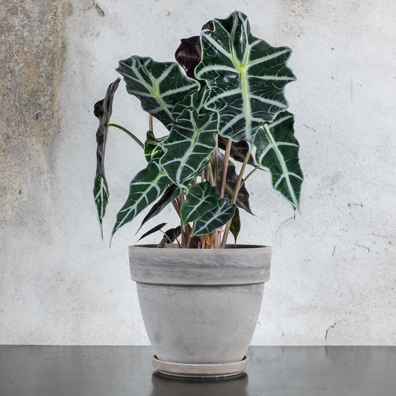 alocasia polly medium 2017
