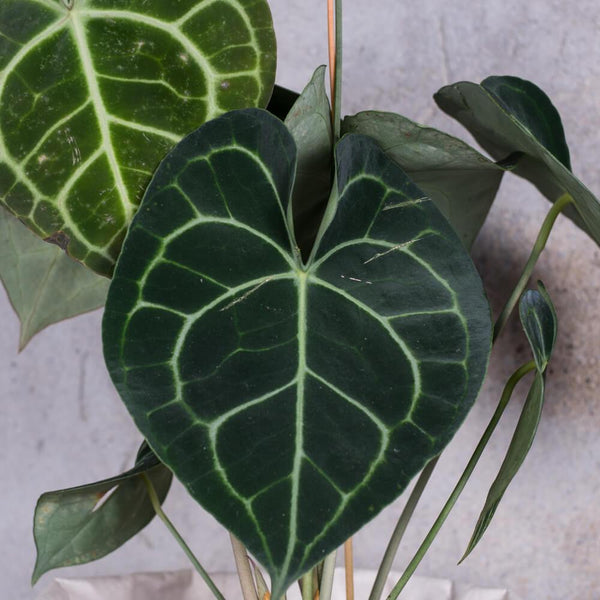 ANTHURIUM CLARINERVIUM SMALL & POT