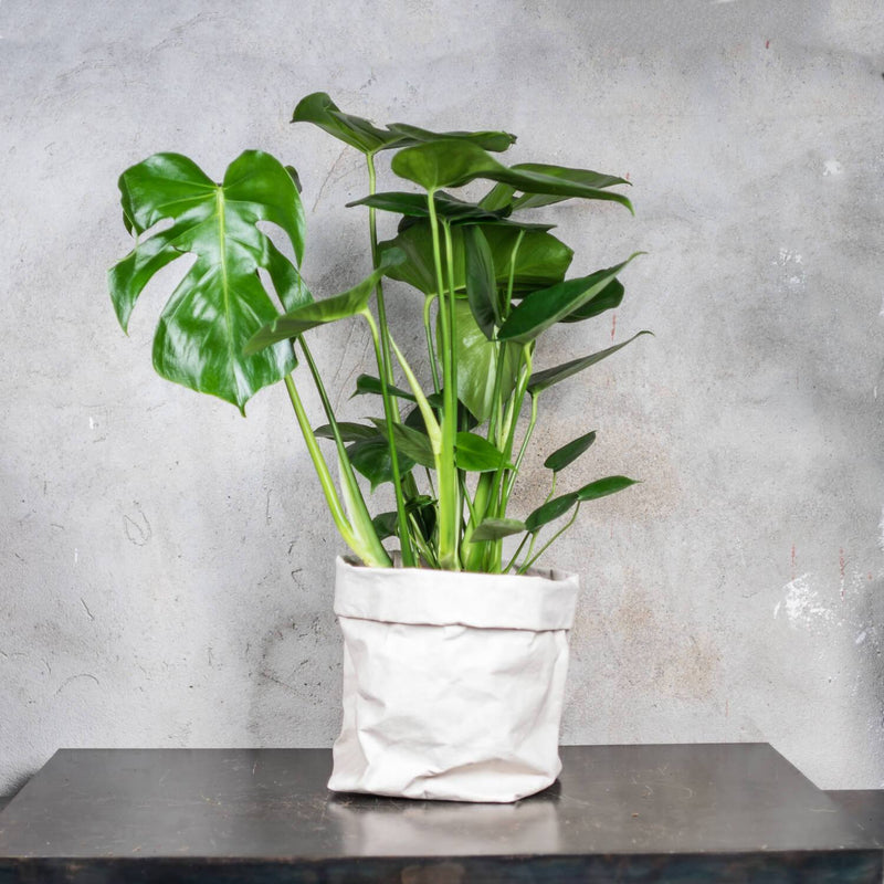 MONSTERA MEDIUM & POT