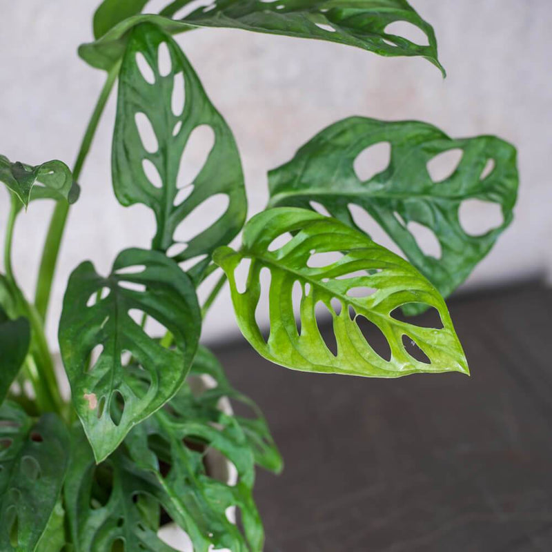 MONSTERA ADANSONII SMALL & POT
