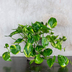 POTHOS AUREUM MEDIUM & POT