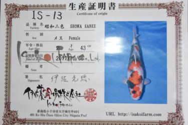 Isa Showa 2yr Female was 43cm in Oct. now 45cm great sumi development