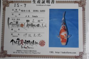 Isa Showa 2yr Female was 42cm in Oct. now 44cm great sumi development