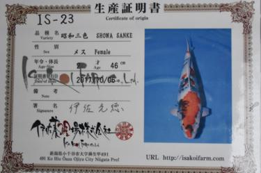 Isa Showa 2yr Female 46cm great sumi development