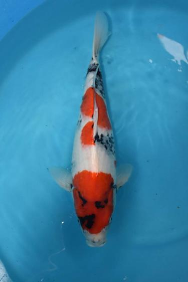 Isa Showa 2yr Female was 45cm in Oct. now 47cm great sumi development