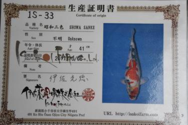 Isa Showa 2yr Female was 41cm in Oct. now 42cm great sumi development