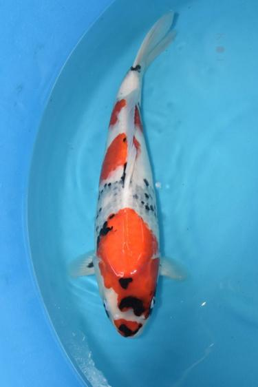 Isa Showa 2yr Female was 44cm in Oct. now 48cm great sumi development