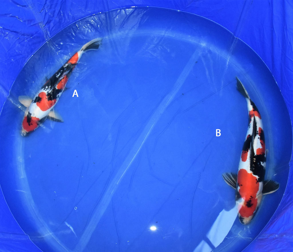 Two Koda Koi Farm Doitsu Showa Koi Fish for sale