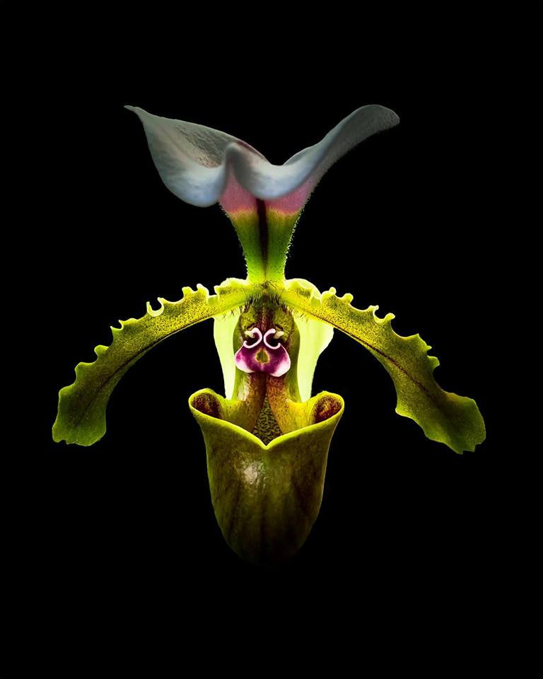Plants on Black - Orchid