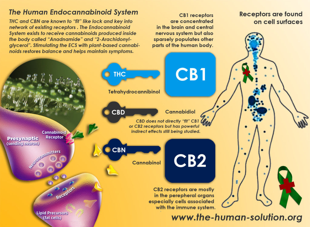 Chart describing the human endocannabinoid system. PLEASE SHARE