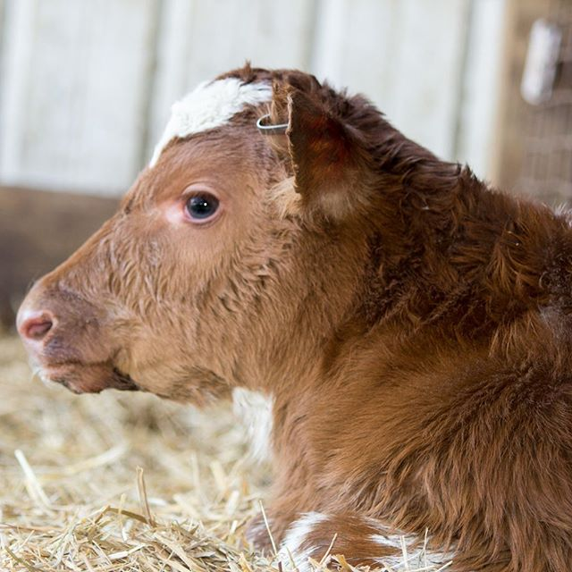 Clover Creek Farm Cow | Revittle