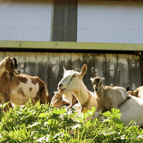Goats from Tomales Farmstead Creamery | Revittle