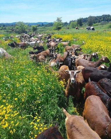 Boston Post Dairy Goats in Field | Revittle