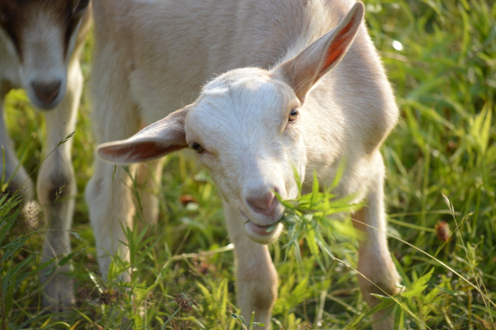 Josh Pond Farm Goat | Revittle