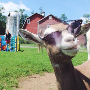 Sprout Creek Farm Goat with Glasses | Revittle
