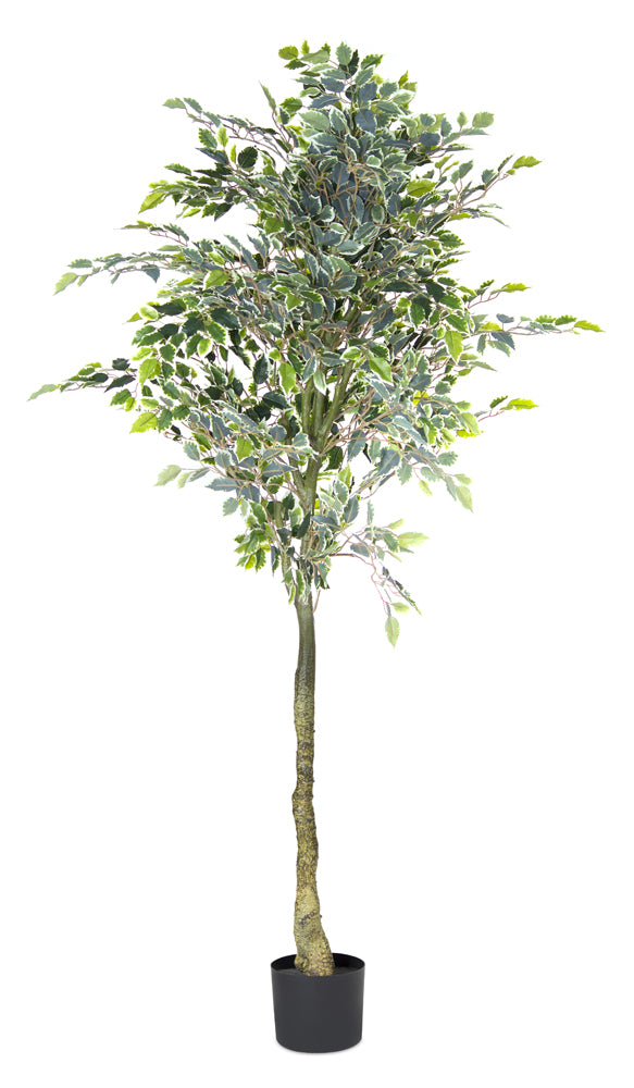 Varigated Ficus Tree Potted 5.5'H Polyester