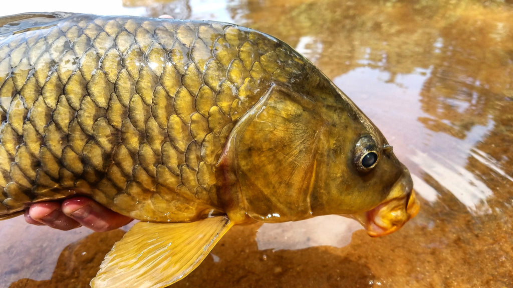 Gold Fever (5 Tips For Your Next Carp Outing), by Aaron Becker