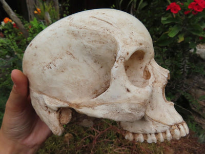 Educational Modern Human skull cast - sold per piece From South Africa