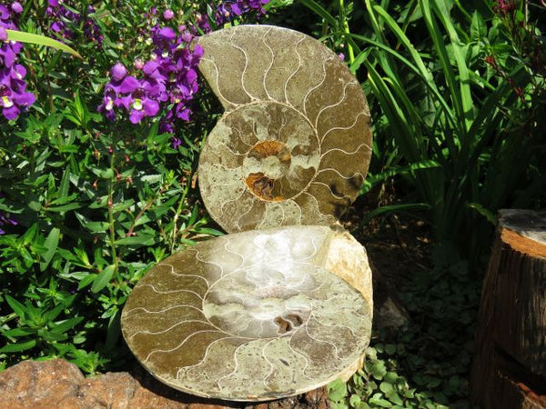 1 Large cut and polished ammonite pair from Madagascar - TopRock